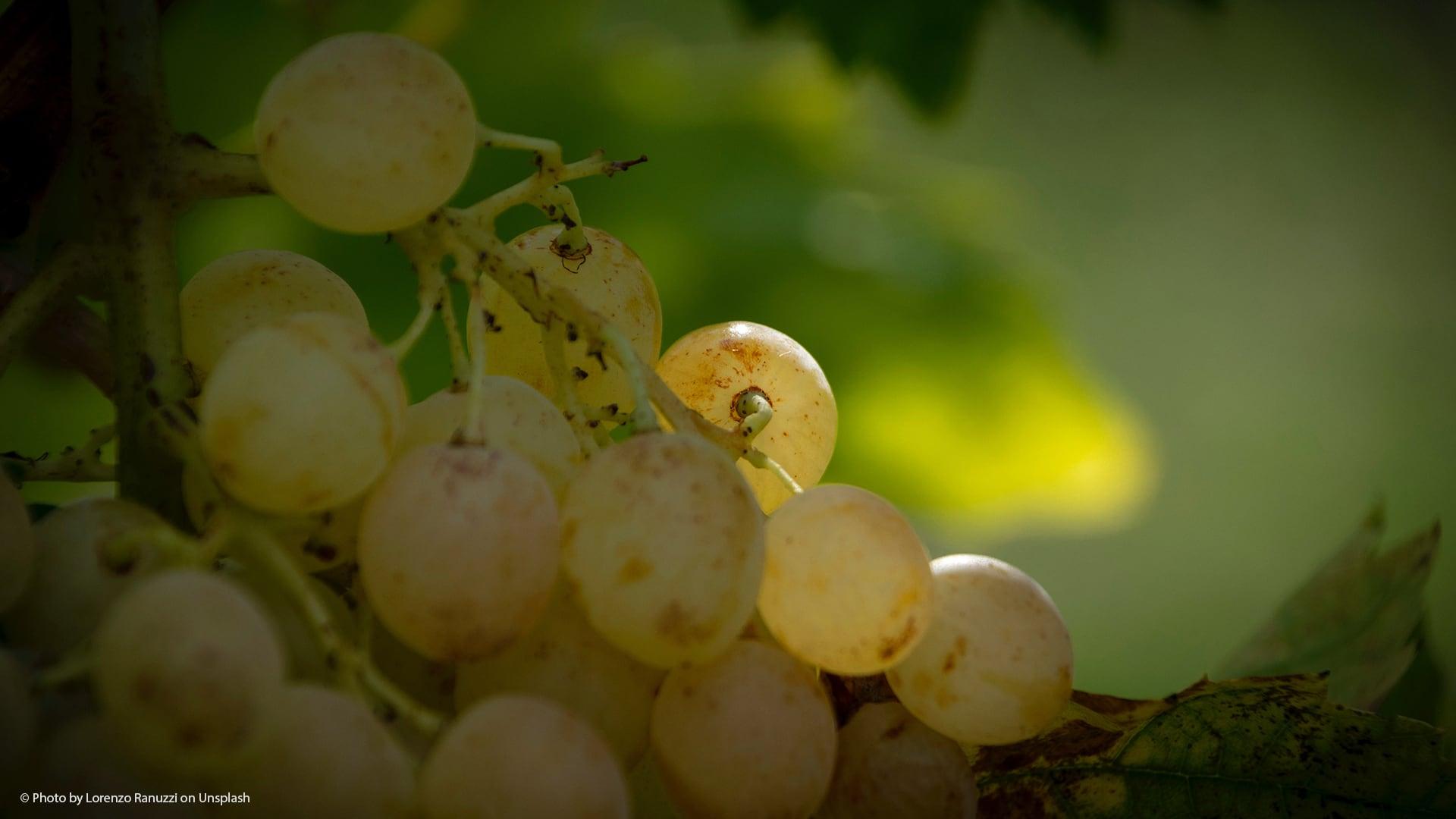 Principales tipos de uva para hacer vino blanco en la Tierra de Cádiz.jpg