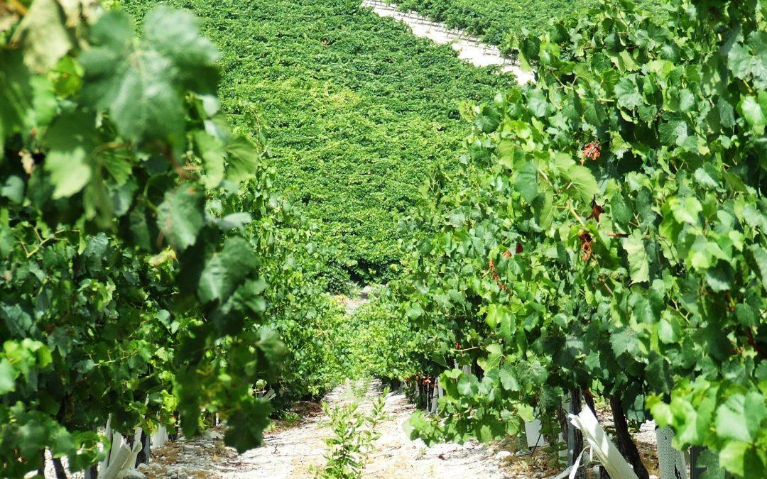 Tipos de uva para hacer vino en la Tierra de Cádiz