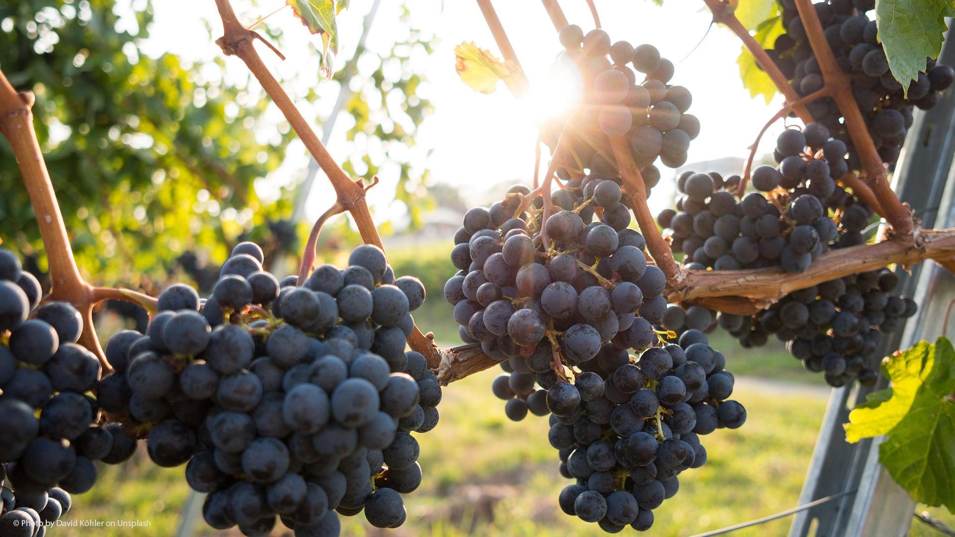 Principales tipos de uva para hacer vino tinto en la Tierra de Cádiz